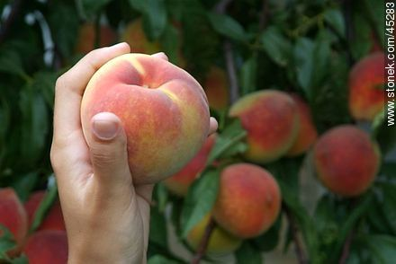 Peach - Photos of fruits, MORE IMAGES. Image #45283