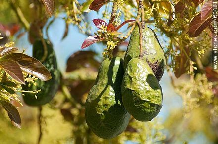 Fruits of avocado tree - Photos of fruits, MORE IMAGES. Image #60481