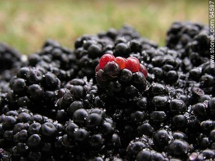 Blackberries - Photos of fruits, MORE IMAGES. Image #64597