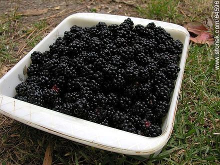 Blackberries - Photos of fruits, MORE IMAGES. Image #64596