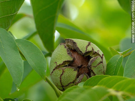 Common walnut tree, fruit and seed - Photos of fruits, MORE IMAGES. Image #66806