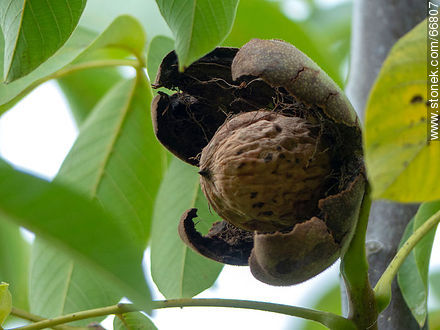 Common walnut tree, fruit and seed - Photos of fruits, MORE IMAGES. Image #66807