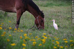 Foto #37476 - Cattle egret