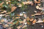 Photo #44233 - Dry oak leaves floating in a puddle of water