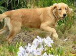 Foto #47443 - Golden Retriever