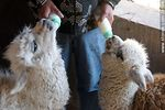 Foto #51504 - Llama and alpaca babies feeding themselves by bottle
