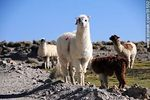 Foto #51552 - Herd of llamas in Parinacota Village