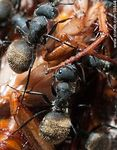 Photo #59444 - Black ants eating a cockroach
