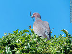 Photo #66788 - Picazuro pigeon with a branch on its beak building a nest