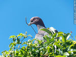 Photo #66790 - Picazuro pigeon with a branch on its beak building a nest