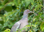 Photo #66794 - Picazuro pigeon with a branch on its beak building a nest
