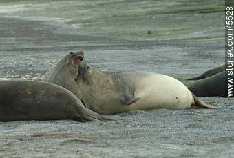 Female elephant seals - Photographs of Peninsula Valdes - Patagonia, ARGENTINA. Image #5528