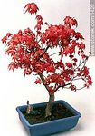 Arce bonsai. - Foto #1420