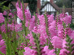 Penstemon - Foto #1442