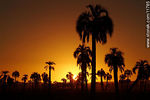 Photo #11785 - Palm trees at sunset